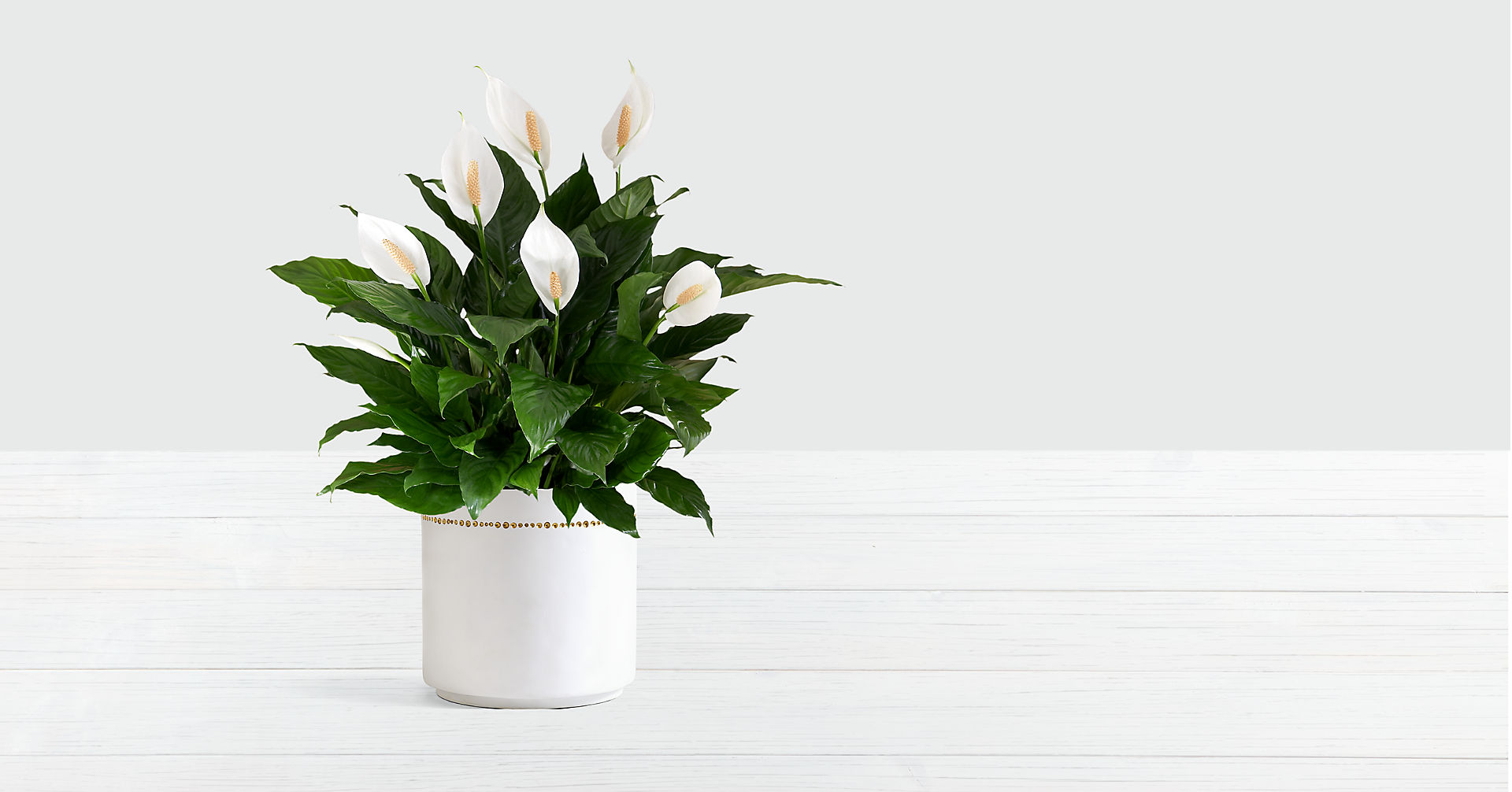 Peace Lily - Image 1 Of 2