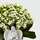 Angel Inspirations Kalanchoe Plant - Thumbnail 2 Of 2