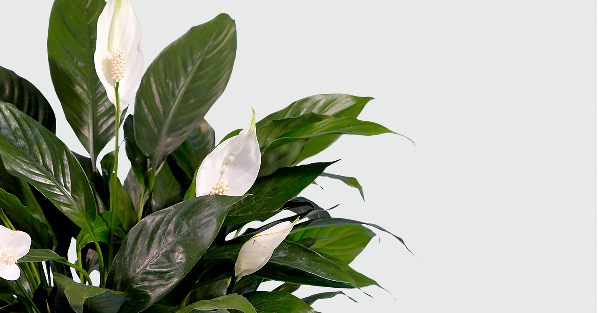 Prayers for Peace Lily Plant - Image 2 Of 2