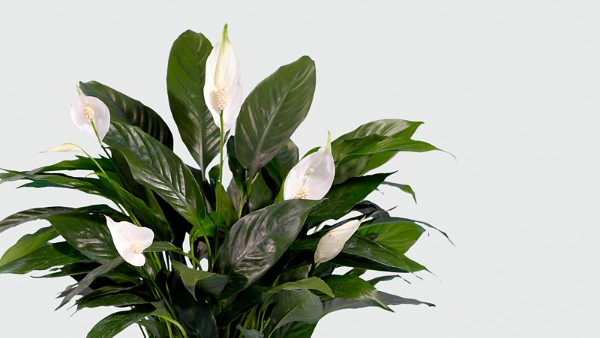Prayers for Peace Lily Plant - Thumbnail 2 Of 2