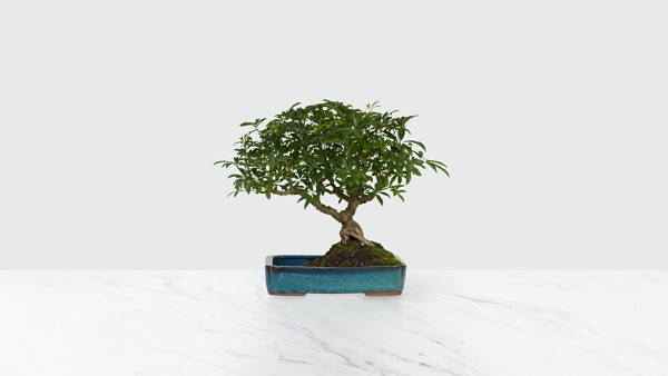 Dwarf Hawaiian Umbrella Tree