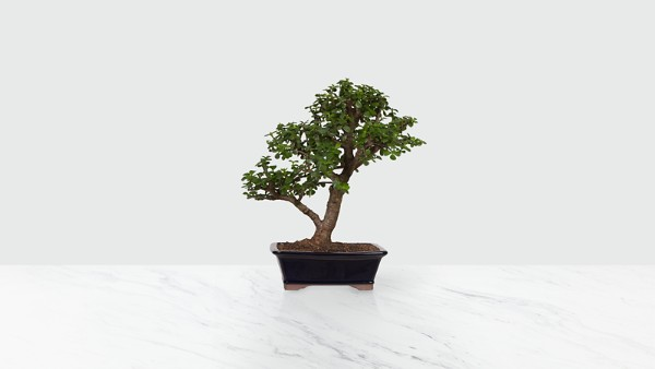 Dwarf Jade Bonsai - Image 1 Of 2