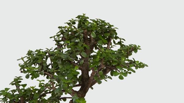 Dwarf Jade Bonsai - Image 2 Of 2