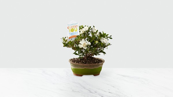 Celebrate You Gardenia Bonsai by Hallmark - Thumbnail 1 Of 2