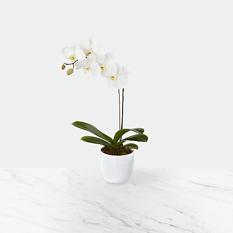 Joyful Journeys Phalaenopsis Orchid