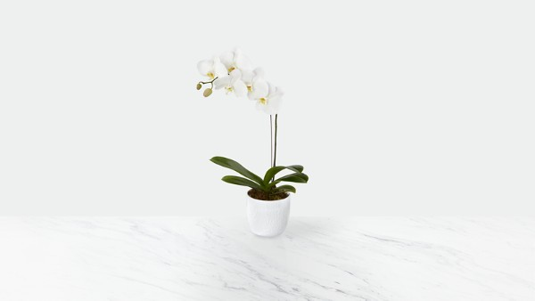 Joyful Journeys Phalaenopsis Orchid - Thumbnail 1 Of 2