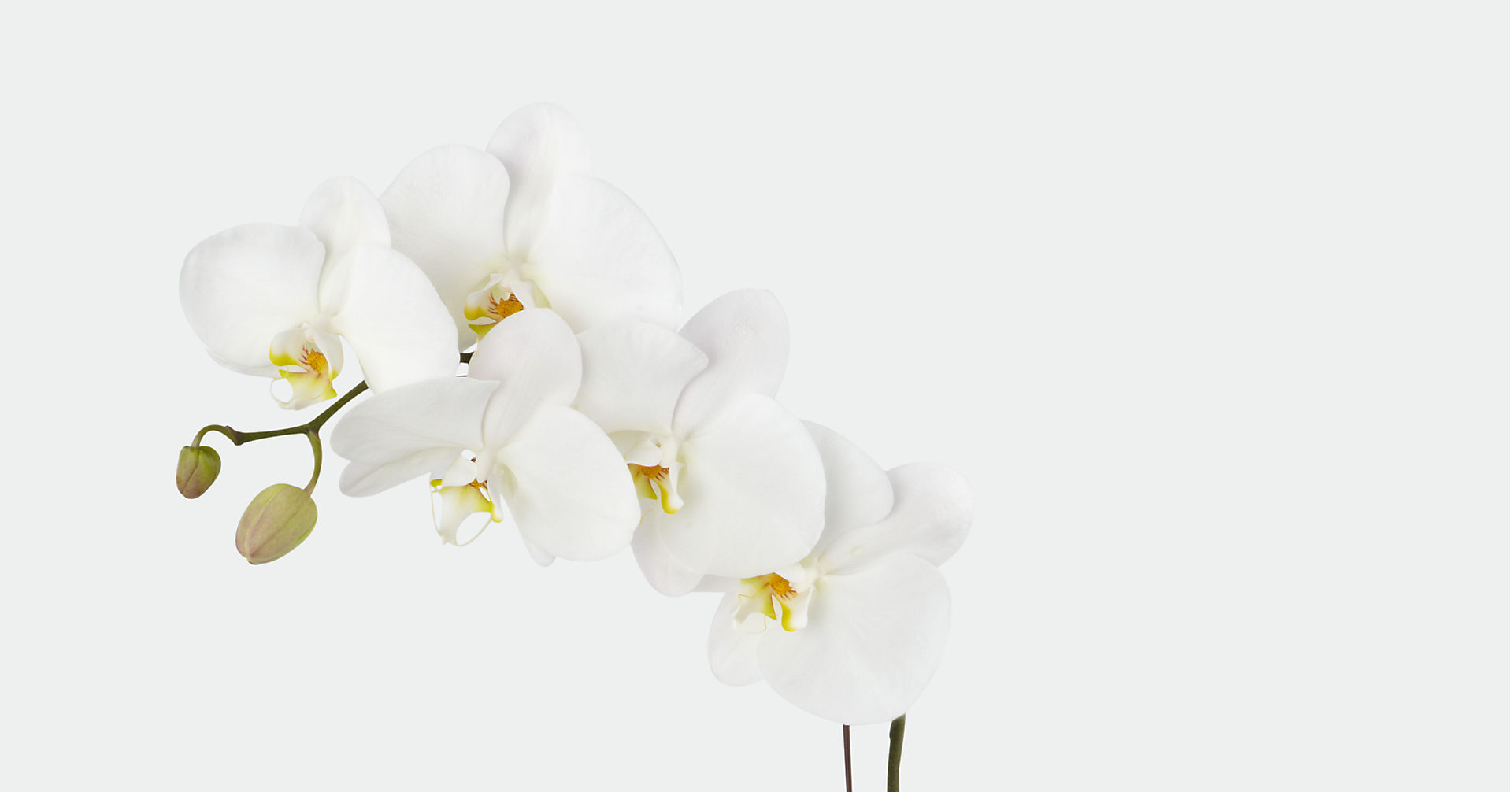 Joyful Journeys Phalaenopsis Orchid - Image 2 Of 2