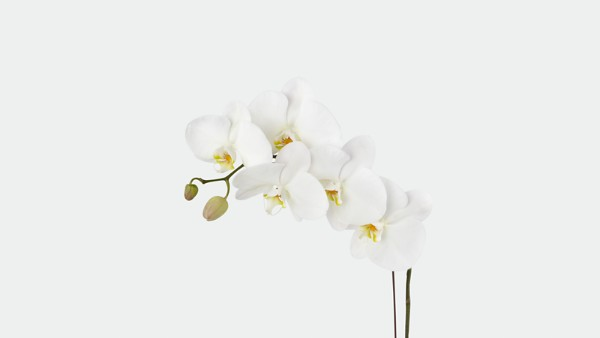 Joyful Journeys Phalaenopsis Orchid - Thumbnail 2 Of 2