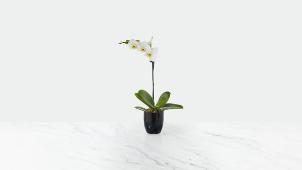 Tranquility Phalaenopsis Orchid - Image 1 Of 2