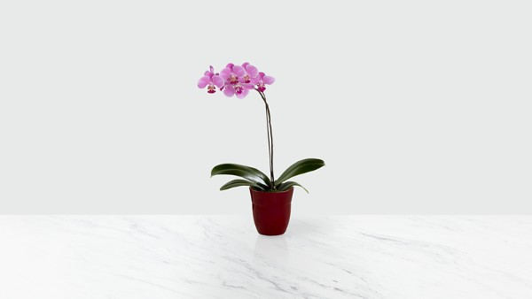 Dream's Discovery Phalaenopsis Orchid - Image 1 Of 2