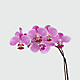 Dream's Discovery Phalaenopsis Orchid - Thumbnail 2 Of 2
