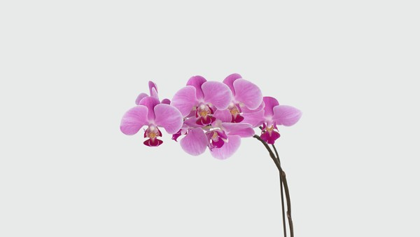 Dream's Discovery Phalaenopsis Orchid - Image 2 Of 2
