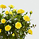 Sending a Smile Mini Rose Plant - Thumbnail 2 Of 2