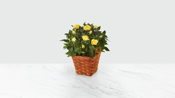 Lighthearted Moments Miniature Rose Plant