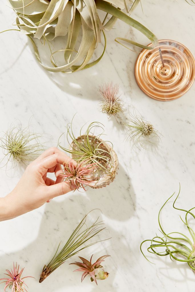 Small Live Assorted Air Plant Set Of 12 Urban Outfitters